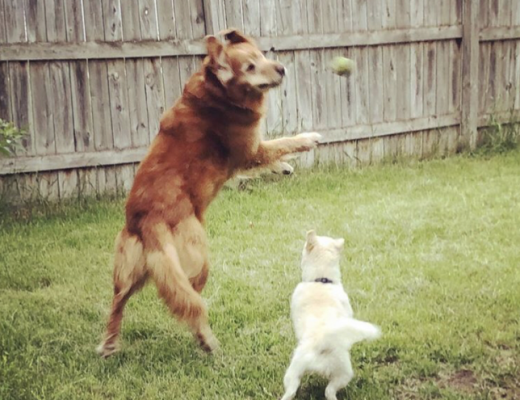 In a competitive game of catch between a little white dog and big dog, he was poetry in motion.