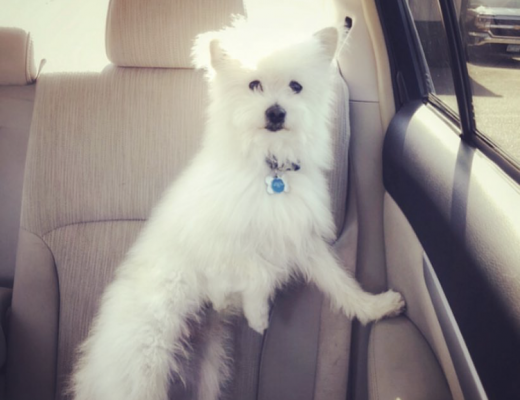 perfect balance of a white dog balanced with one paw on the car door