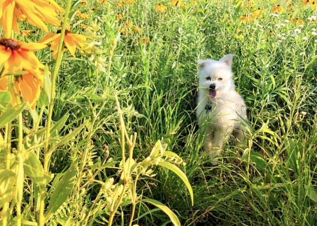 White dog hangs out among yellow flowers