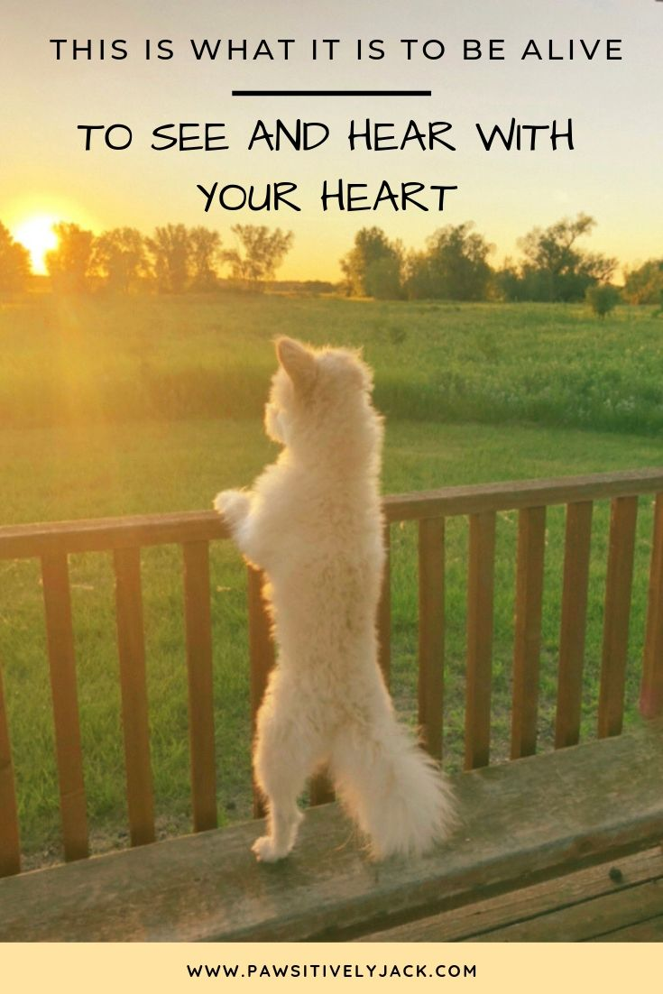 White dog staring into sunset