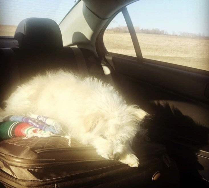 white dog sleeping on suitcase while on roadtrip
