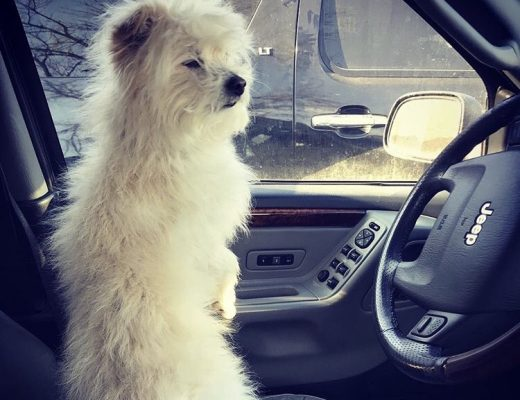 White dog is alone in the driver's seat