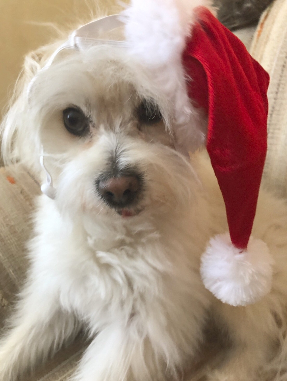 white dog in Santa Hat